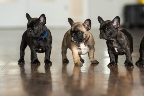 Französische Bulldoggen