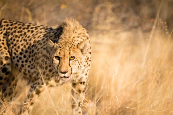 Gepard in der Abendsonne Namibias in der Nähe von Otjiwarongo, d610; 240mm; f3.5; 1/320 sec.; iso 100
