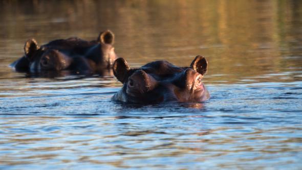 Hippos im Abendlicht am Kwando Fluss, Caprivi Strip Namibia... d610, 800mm, f5.6, 1/1320 sec., iso 400