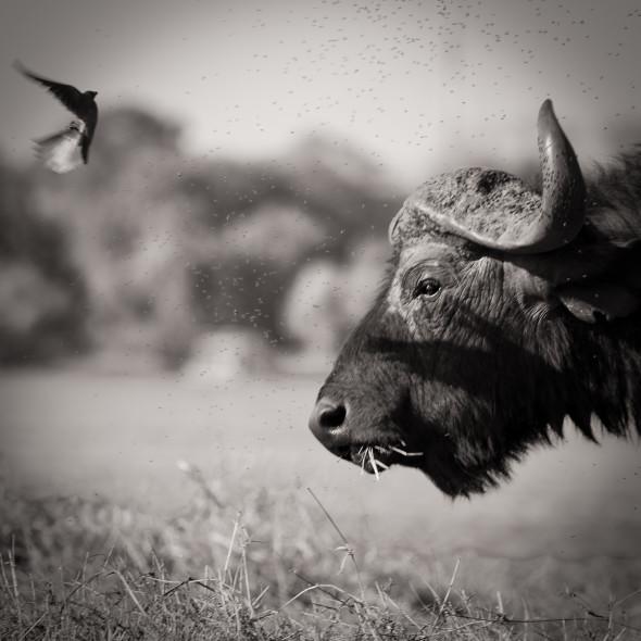 Büffel auf der Insel Seduduan der Chobe Riverfront, Botswana... 600mm, f5.6, 1/500 sec., iso 200