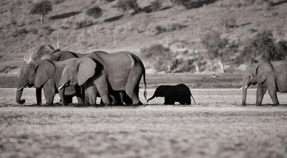 Elephanten überqueren den Sambesi im Chobe Nationalpark um auf die Insel Sedudu in Botswana zu gelangen, d610, 900mm, f5.6, 1/500 sek., iso 200