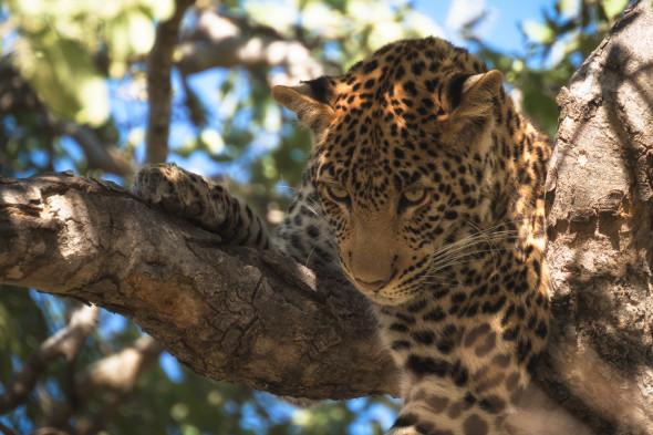 Verängstigter Leopard auf einem Baum, eine Gruppe Affen hat ihn in die Enge getrieben, da er eine Antilope aus dem Rudel reissen wollte, mit denen die Affen eine Symbiose bilden (Antilopen haben einen ausgeprägten Geruchssinn, Affen haben gute Augen), Chobe Nationalpark Botswana, d610, 900mm, f5.6, 1/500 sek., iso 320