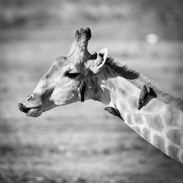 Giraffe mit Oxpecker Mietern, Chobe Nationalpark in Botswana... d610; 900mm; f5.6; 1/1250 sek.; iso 200