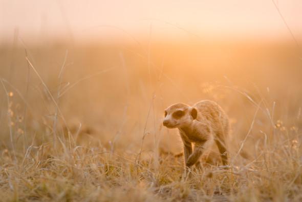 Erdmännchen auf der Makgadikgadi Pfanne in Botswana, eine der größten zusammenhängenden Salzpfannen der Erde... 200mm; f4; 1/200 sek.; iso 100