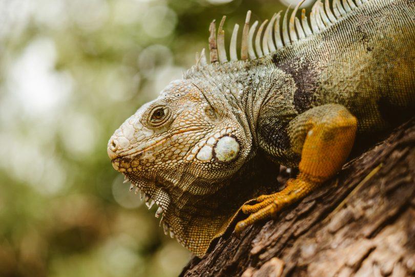 Mitten in der Stadt finden sich auf den Bäumen Leguane, die sich bereitwillig fotografieren lassen.