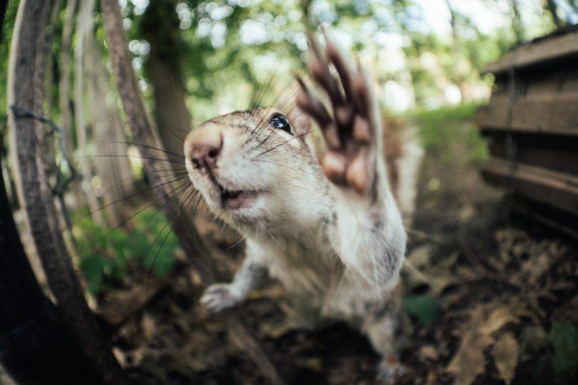 High Five. Das Eichhörnchen hat direkt mal an der Linse abgeklatscht.